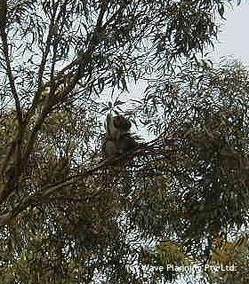 国立公園の野生のコアラ