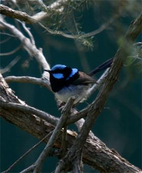青い色が美しいルリオーストラリアムシクイ(Blue Wren)