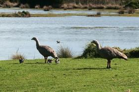 オーストラリア南部に生息するロウバシガン(Cape Barren Geese)