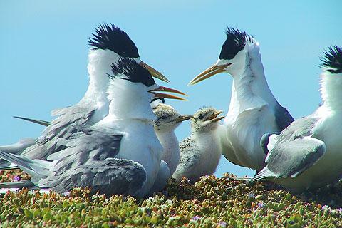 オオアジサシの営巣地でもあるフィリップ島