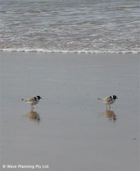 絶滅が危惧されるスグロチドリ(Hooded Plover)
