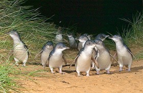 かわいいペンギンパレード