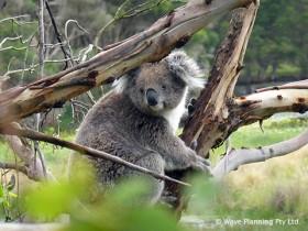 ボランティアプログラムでは、野生のコアラの個体数カウントなども