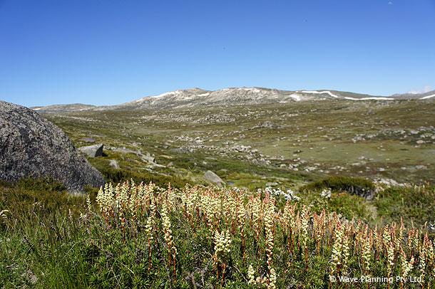 夏にはアルパイン・フラワー(高山植物)が咲き、豊かな自然が美しいコジオスコ山