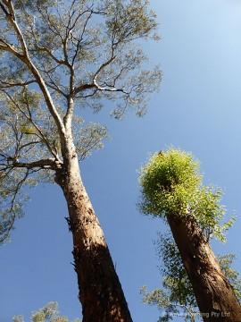 寄生植物に覆われた樹