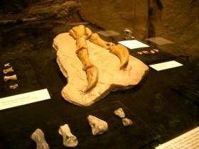 オパール化し始めている恐竜の爪の化石