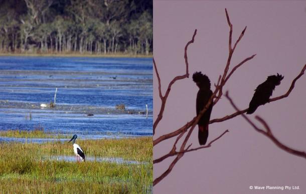 水辺にたたずむジャビルー(左)と夕暮れ時に現れたブッラクコッカトゥー(右)