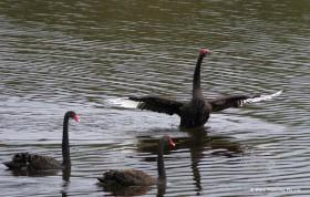 黒鳥のダンスも見られるかも?