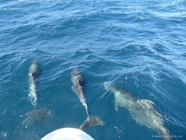 クルーズ船が外洋へ乗り出すと、すぐに集まってくるイルカたち