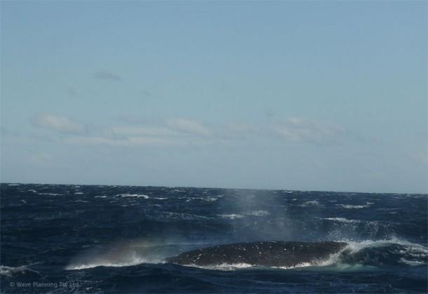 大きなクジラの背中が見えた瞬間!