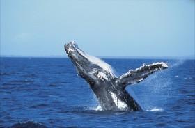 クジラのジャンプは大迫力!