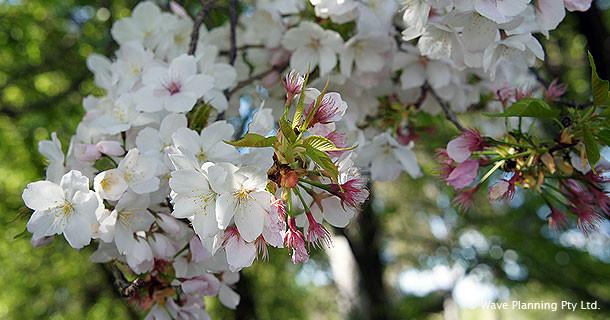 カウラ桜まつり