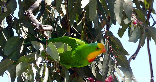 カラフルな野鳥が多いも内陸部の町ならでは