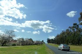 カウラの町の通りにある桜並木
