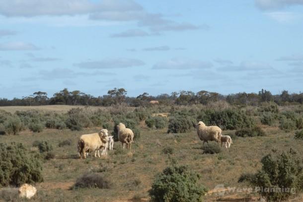 エミューやカンガルーよりも見かけた野良羊の群れ