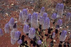 西オーストラリアのワイルドフラワ