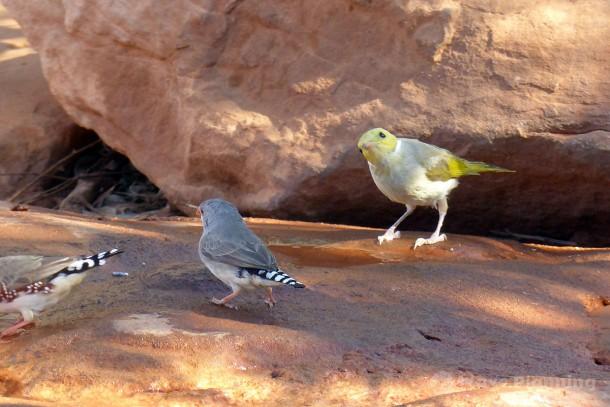 水汲み場に水を飲みに来る野鳥たち