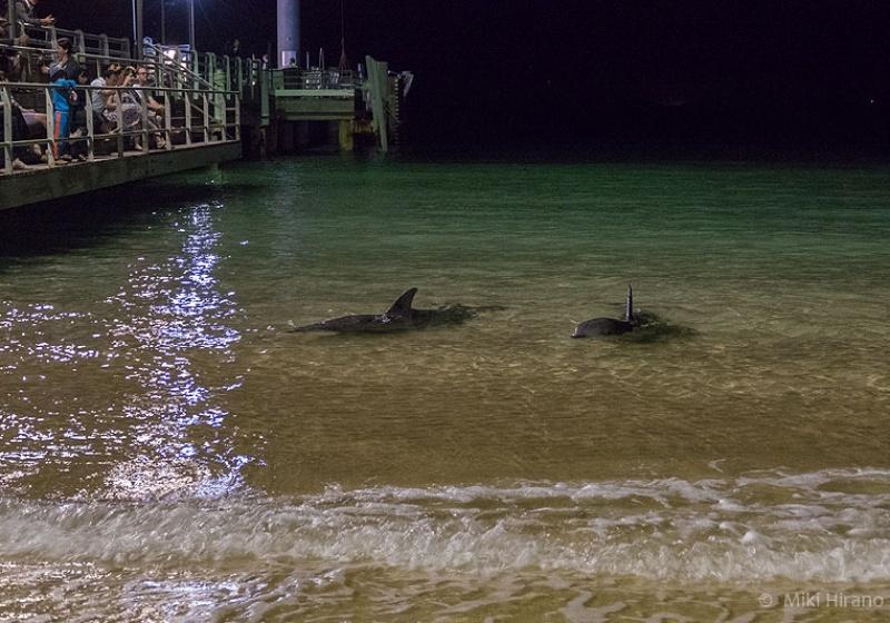日没後、リゾート前に現れたイルカたち