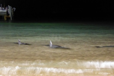 かなり浅瀬まで近寄ってくるイルカも!