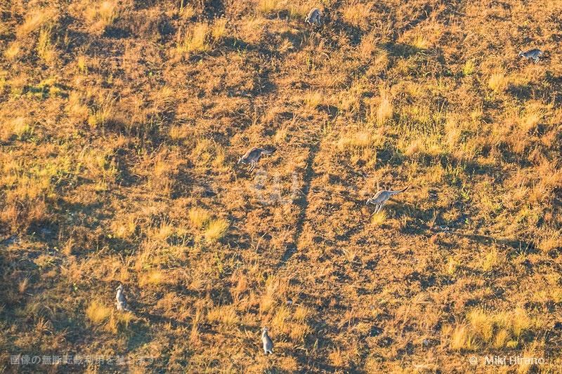 早朝はまだ活発に動き回るカンガルーの群れ