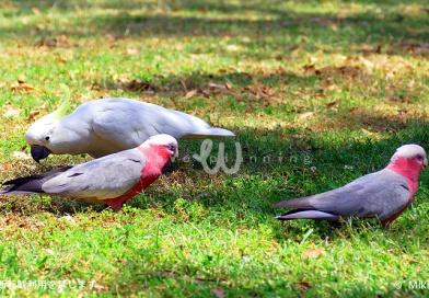 鳥王国オーストラリア!スズメやカラスのように手軽に見られる野インコ Best 5