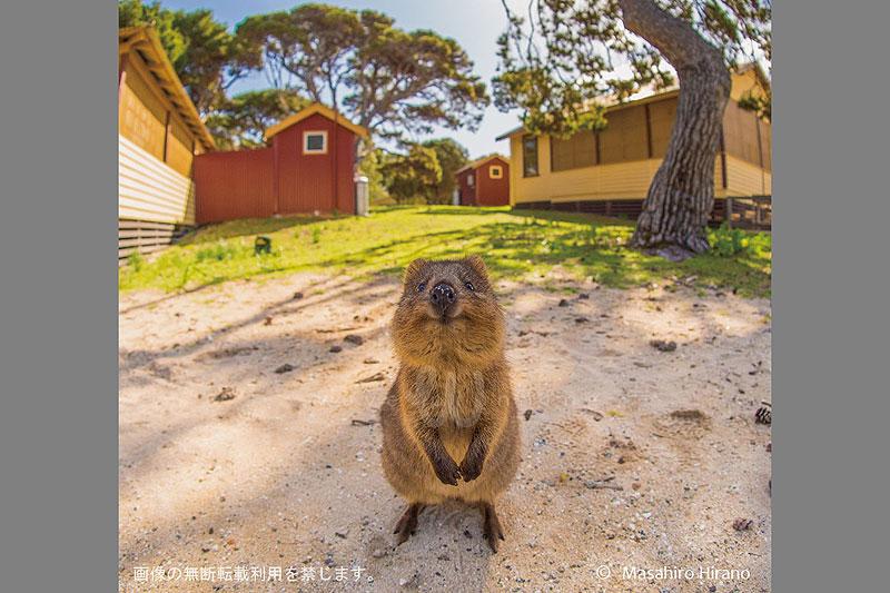 世界で一番ハッピーな動物、クオッカ