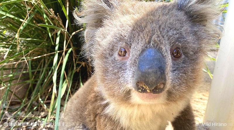 カンガルー島の野生のコアラ