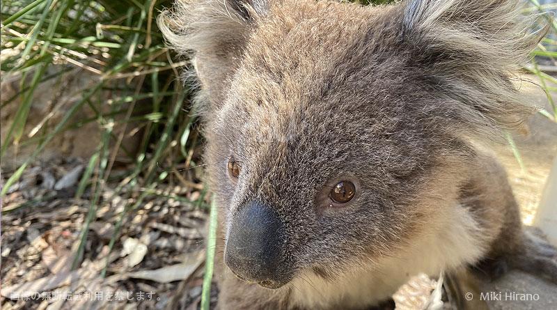カンガルー島で救助された野生のコアラ(2020/1/29撮影)
