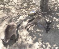 Kangarooislandwildlifepark3