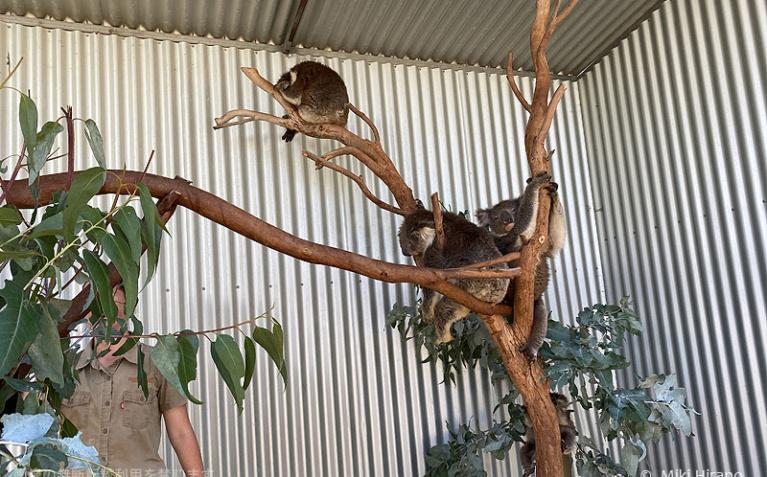 火災現場から救助されたコアラたち(2020/1/29撮影)