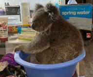 状態がよくなってきたコアラの体重を計測(2020/1/29撮影)