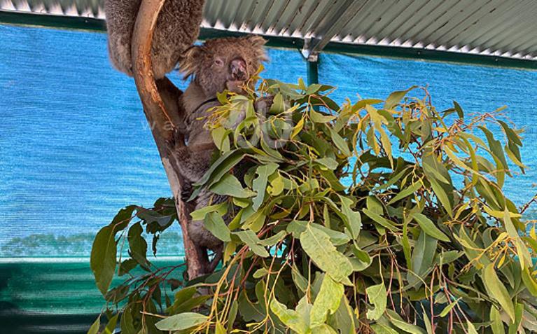木に登れるほど回復してきたコアラも(2020/1/29撮影)