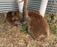 手足が使えないので木に登れないコアラやお尻のあたりに痛々しい怪我をしているコアラも…(2020/1/29撮影)
