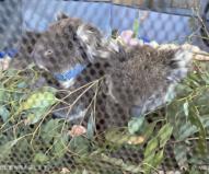 赤ちゃんコアラは何匹か一緒に介護(2020/1/29撮影)