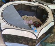 赤ちゃんコアラはこうした人間の赤ちゃん用テントで(2020/1/29撮影)