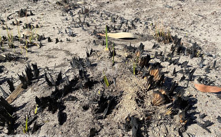 完全に燃え尽きたように見える植物の焼け株からは、既に新しい芽がでていた(2020/1/29撮影)