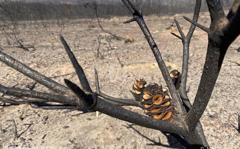 炭化した木の種は火によってはじけ、新しい命を育む準備ができていた(2020/1/29撮影)