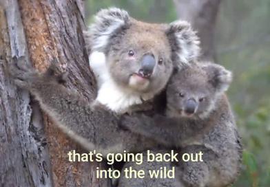 森林火災から救出されたコアラ、徐々に森へと帰り始めています!