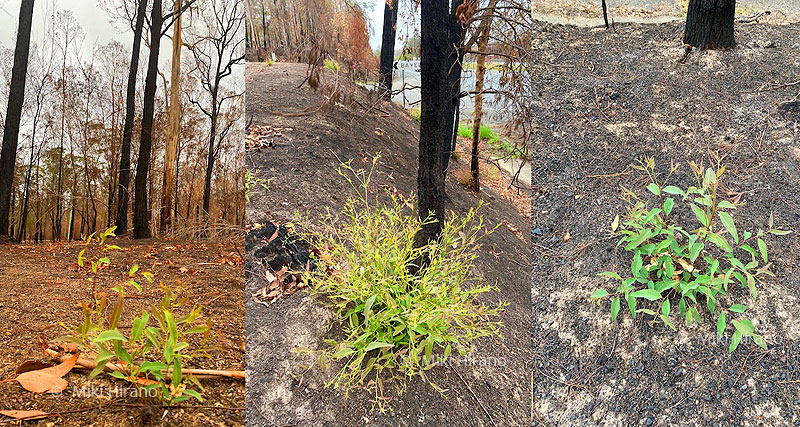 黒焦げになった森には新しい芽が!(2020年1月下旬撮影)