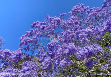 シドニーの街中が幻想的な紫色に染まる季節  ~ジャカランダ物語