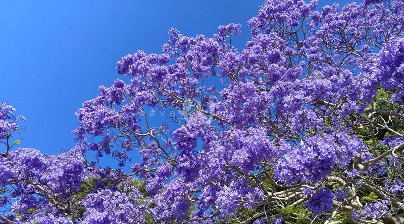 街中が紫色に染まる ~ジャカランダ物語